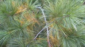 eastern white pine tree wallpaper freechristmaswallpapers net