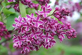 lilac flowers flowers for flower lilac flowers