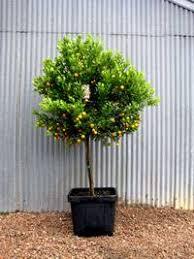engall s nursery cumquat trees australian nagami meiwa and