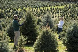 christmas tree pic bell s christmas trees frequently asked questions accord new york