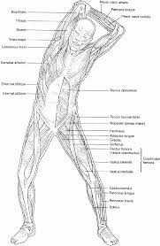 anatomy coloring pages muscles human anatomy diagram anatomy