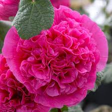 hollyhock flowers zyverden hollyhocks pink roots 5 pack 11341 the