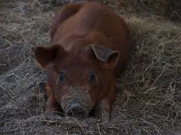 62 best duroc pigs images on pinterest livestock pigs and pig