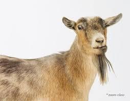 Goat Decor Pygmy Goat Sharon Montrose Animal Photos Wildlife