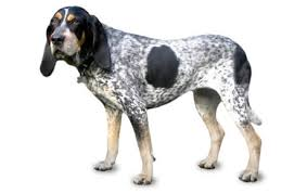 bluetick coonhound smokey bluetick coonhound dog breed information pictures