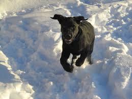 black lab puppy romero is running happily through fairly deep snow