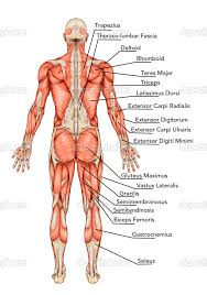 Human Figure Anatomy Muscle Anatomy Labeled Google Search Yoga Teacher Training