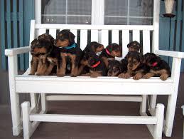 belgian sheepdog illinois dog breeders near boonville mo