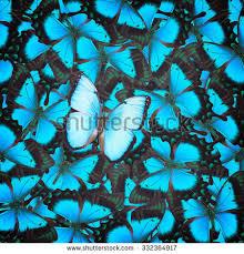 sea green swallowtail blue morpho butterflies stock photo