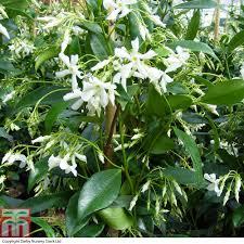 trachelospermum jasminoides thompson u0026 morgan