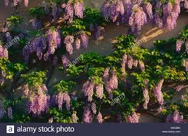 wisteria sinensis australian bush flower fabaceae stock photos u0026 fabaceae stock images page 2 alamy