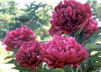 peonies for sale herbaceous peonies and tree peonies directly from a grower
