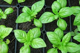 7 tips for growing mad giant basil plants offbeat home u0026 life