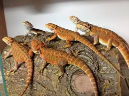 red pastel citrus red bearded dragons orpington kent pets4homes