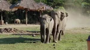 when an elephant herd meet with the tractor driver youtube