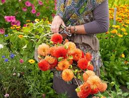 cut flowers best dahlias for cutting