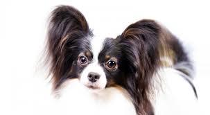 how to groom a belgian sheepdog papillon health u0026 care information