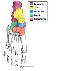 Anatomy Of The Calcaneus The Ankle Joint Articulations Movements Teachmeanatomy