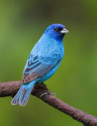 How To Attract Indigo Buntings To Your Backyard Photography Close To Home Backyard Birds Story And Photographs By