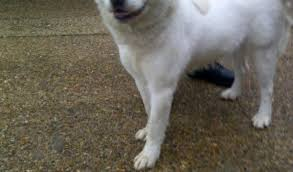 samoyed x australian shepherd amelia u2013 1 year old female labrador cross samoyed dog for adoption