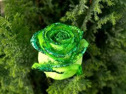 green roses green roses 6895637