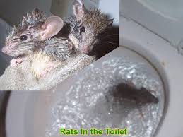 can a rat get into the house through the toilet