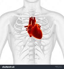 Diagram Heart Anatomy Heart In Chest Diagram Anatomy Organ