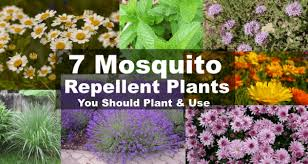 Patio Insect Repellent Mosquito Repellent Plants 7 Plants That Repel Mosquitoes U0026 Bugs