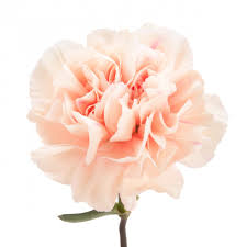 light pink peach carnations carnations types of flowers