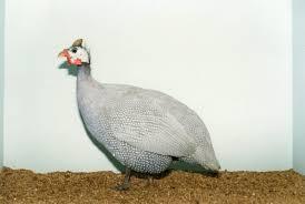 where to buy lavender guinea fowl efowl