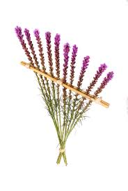 liatris trellis beauty u0026 strength mellano u0026 company