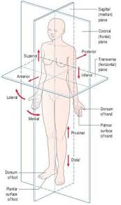 Planes And Anatomical Directions Worksheet Answers 1 6 Many Organs Lie In Membrane Lined Cavities