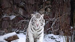 image archive a white tiger at the moscow zoo moscow