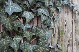 tips on how to grow english ivy