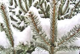 winter cradle snow limbs winter pine tree nature pines wallpaper
