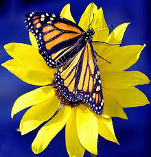 Life Of A Flower - life of a social butterfly the national population of monarch