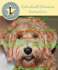 how to cut a goldendoodles hair grooming instructions for goldendoodles images