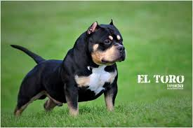 american pit bull terrier bully history of the tri colored pit bull u0026 american bully bully king