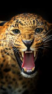 animals leopard wallpapers hd images new pictures for free
