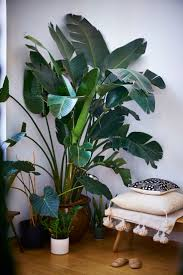 Cascading Indoor Plants by The 25 Best Large Indoor Plants Ideas On Pinterest Big Indoor