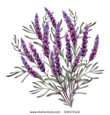 lavender bouquet big lavender bouquet watercolor botanical illustration stock
