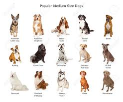 australian shepherd clipart a group of fifteen different medium size family breed dogs stock