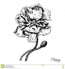 engraving poppy flower decorative hand drawn sketch stock vector