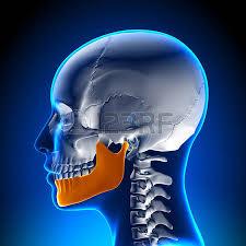Human Jaw Bone Anatomy Human Jaw Bone Stock Photos Royalty Free Human Jaw Bone Images