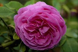 beautiful flowers most beautiful rose flower image all flowers