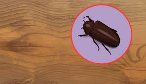 Little Black Beetles In Kitchen 3 Ways To Identify Woodworm Wikihow