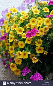 combinations of flowers in hanging baskets lobelia purple stock