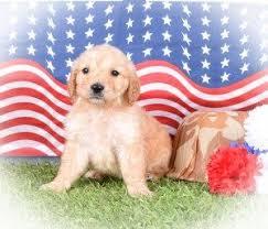 Comfort Retrievers 27 Best Flat Coated Goldendoodles Images On Pinterest Flats