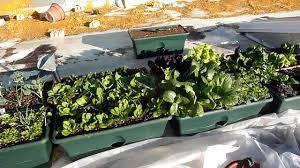 Roof Garden Plants Roof Top Winter Vegetable Garden Youtube