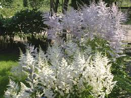 are there different kinds of astilbe learn about astilbe plant